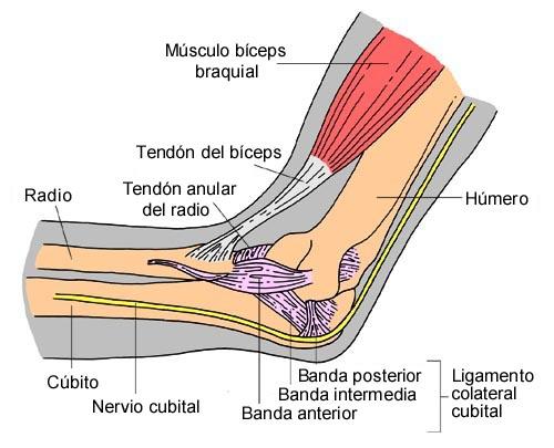 Codo. tendinitis bicipital distal
